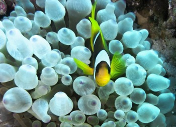 clown-fish-1268677_1280