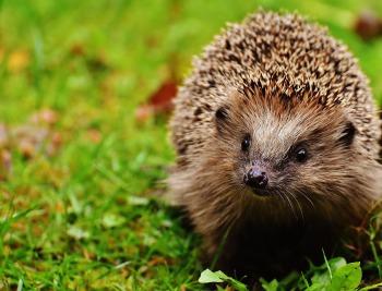 hedgehog-child-1759505_1920