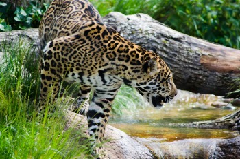 jaguar-2457587_1920
