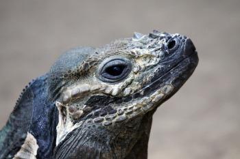 rhinoceros-iguana-1175006_1920
