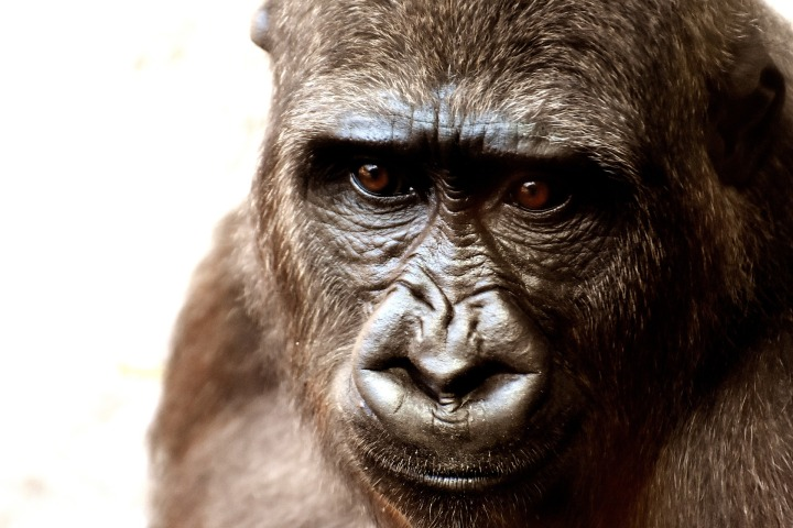 gorilla-2318998_1920