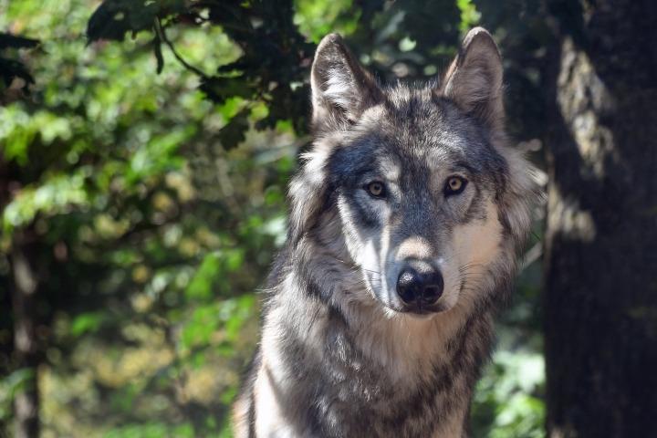 wolf-3280842_1920