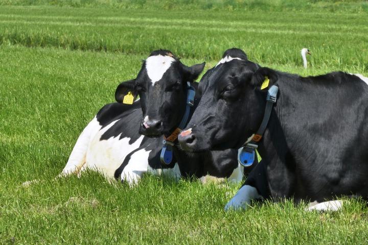 cow-3405317_1920