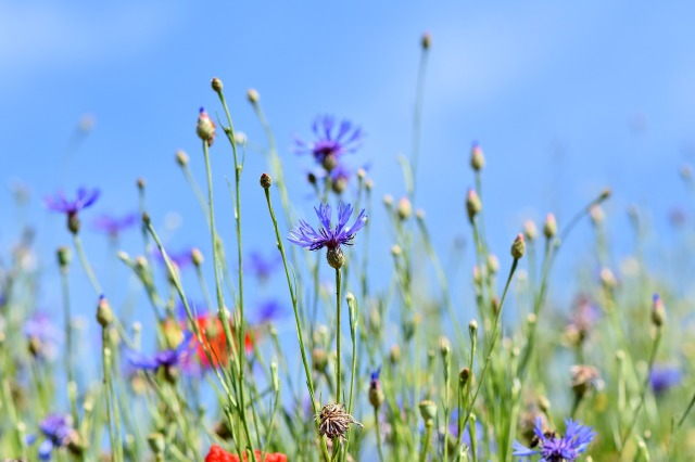 alpine-cornflower-3440640_1920