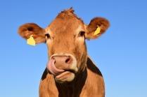 cow-1715829_1920