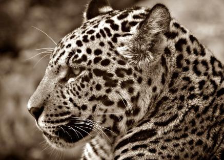 jaguar-70026_1920