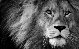 lion-3260558_1920