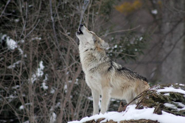wolf-1992716_1920