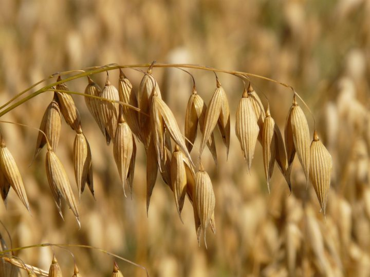 agriculture-field-grains-87824