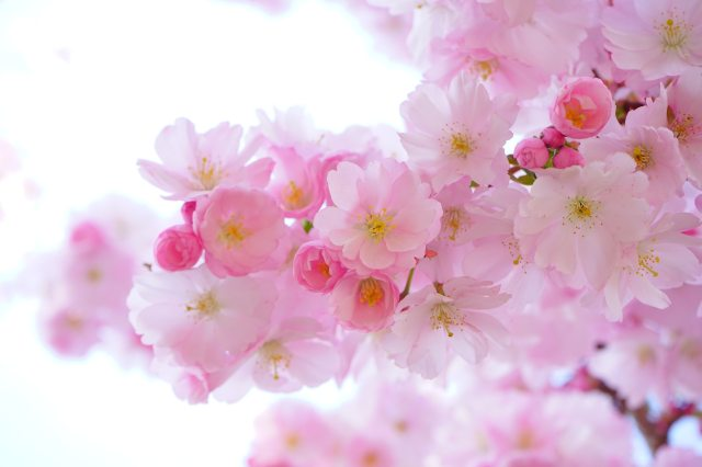 bloom-blossom-cherry-blossom-54630
