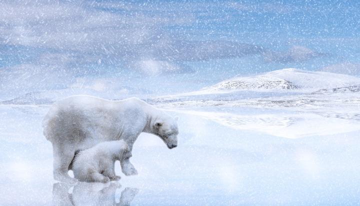 polar-bears-2800429_1920